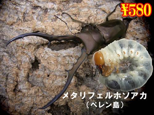3月選抜品■ペレンメタリフェルホソアカ幼虫(3頭まで