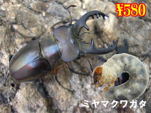 特選虫の市■ミヤマクワガタ幼虫(3頭まで