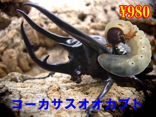 特選虫の市■コーカサスオオカブト幼虫(5頭まで