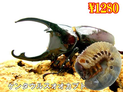 特選虫の市■ケンタウルスオオカブト幼虫(3頭まで