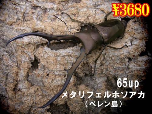 特選虫の市■メタリフェルホソアカ65up成虫ペア(1ペアまで