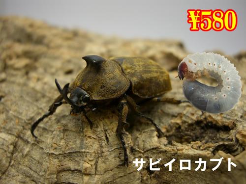 9月選抜品■サビイロカブト幼虫(3頭まで