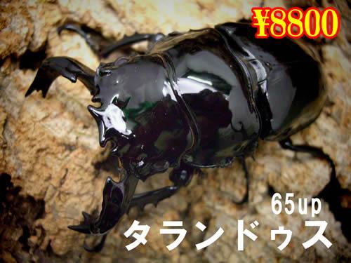 特選虫の市■タランドゥスオオツヤクワガタ65up成虫ペア(1ペアまで