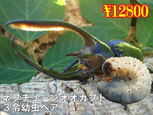特選虫の市■ネプチューンオオカブト3令幼虫ペア(1ペアまで