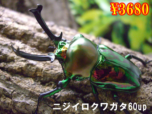 特選虫の市■ニジイロクワガタ60up成虫ペア(1ペアまで