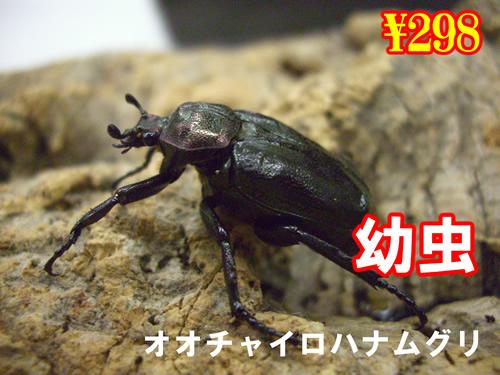 8月選抜品■オオチャイロハナムグリ幼虫(5頭まで