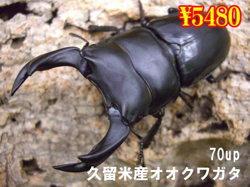 10月選抜品■久留米産オオクワガ70up成虫ペア(1ペアまで