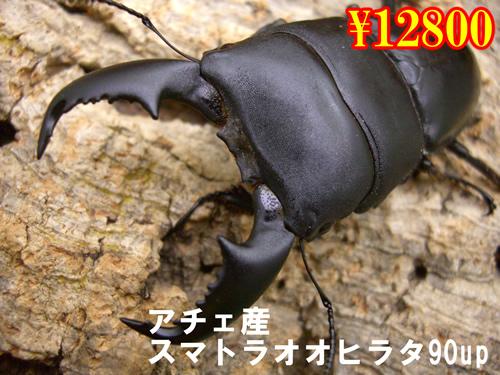 特選虫の市■アチェ産スマトラオオヒラタ90up成虫ペア(1ペアまで