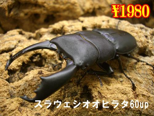 4月選抜品■スラウェシオオヒラタ60up成虫ペア(1ペアまで