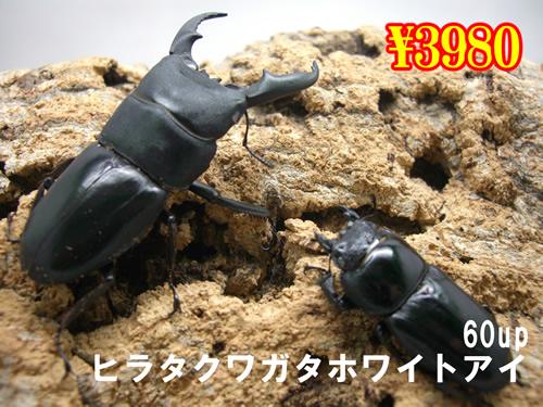 特選虫の市■本土ヒラタ(ホワイトアイ)60up成虫ペア(1ペアまで
