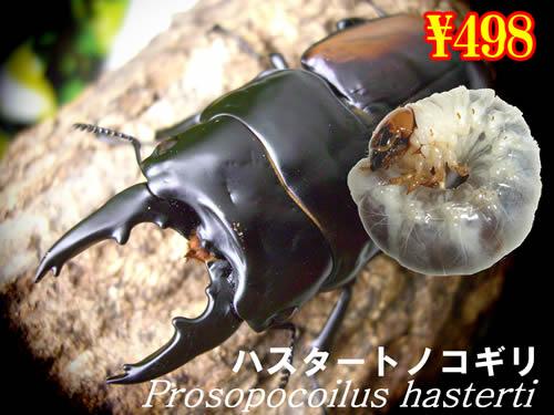 特選虫の市■ハスタートノコギリ幼虫(3頭まで)