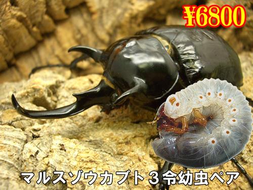 9月選抜品■マルスゾウカブト3令幼虫ペア(1ペアまで