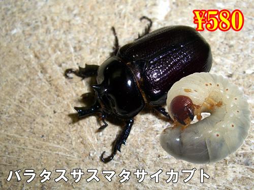 特選虫の市■バラタスサスマタサイカブト幼虫(3頭まで