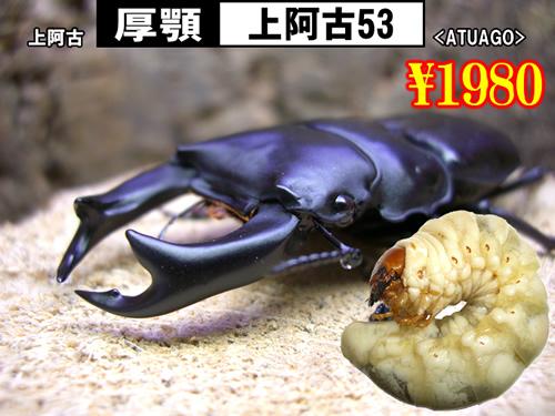 特選虫の市■SUPER個体【厚顎-上阿古53】幼虫(3頭まで