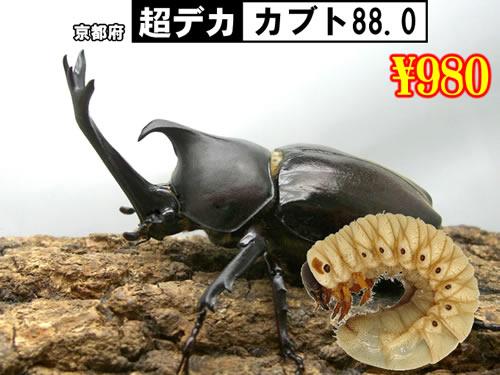 10選抜品■SUPER個体【超デカ-カブト88.0】幼虫(3頭まで