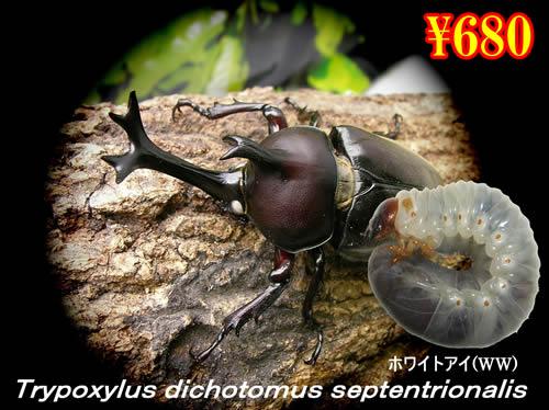 9月選抜品■国産カブトムシ ホワイトアイ幼虫(5頭まで