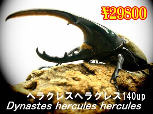 11月選抜品■ヘラクレス・ヘラクレス140up成虫ペア(1ペアまで