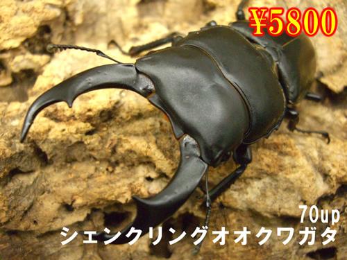 11月選抜品■シェンクリングオオクワ70up成虫ペア(1ペアまで