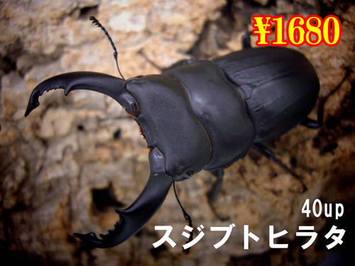 3月選抜品■離島 スジブトヒラタ40up成虫ペア(1ペアまで