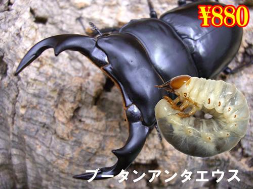 4月選抜品■ブータンアンタエウス幼虫(3頭まで