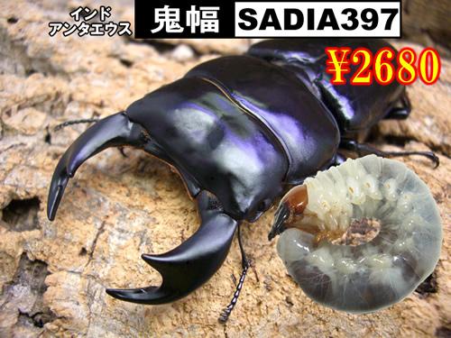 4月選抜品■SUPER個体【鬼幅-SADIA397】幼虫(3頭まで