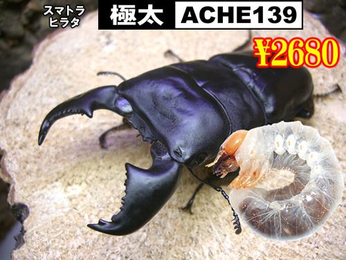 5月選抜品■SUPER個体【極太-ACHE139】幼虫(3頭まで