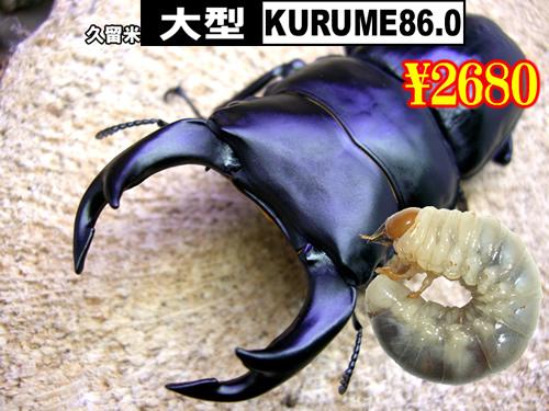 特選虫の市■SUPER個体【KURUME86.0】幼虫(3頭まで