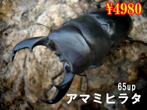 特選虫の市■離島 アマミヒラタ65up成虫ペア(1ペアまで
