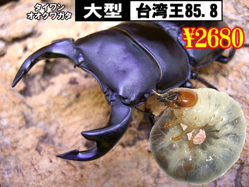 特選虫の市■SUPER個体【台湾王】血統幼虫(3頭まで