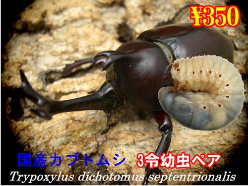 10月選抜品■国産カブトムシ3令幼虫ペア(1ペアまで