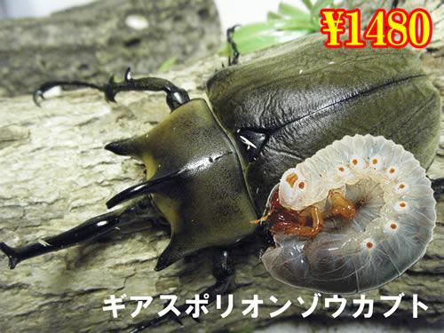特選虫の市■ギアスポリオンゾウカブト幼虫(5頭まで