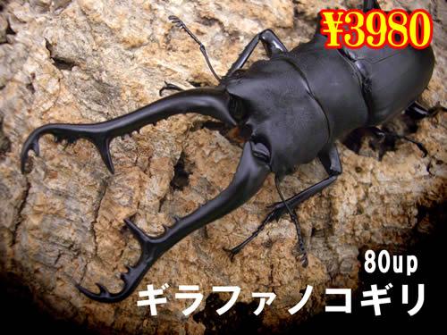 特選虫の市■ギラファノコギリ80up成虫ペア(1ペアまで
