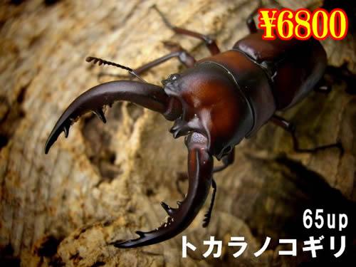 特選虫の市■離島 トカラノコギリ65up成虫ペア(1ペアまで