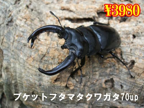 特選虫の市■ブケットフタマタクワガタ70up成虫ペア(1ペアまで