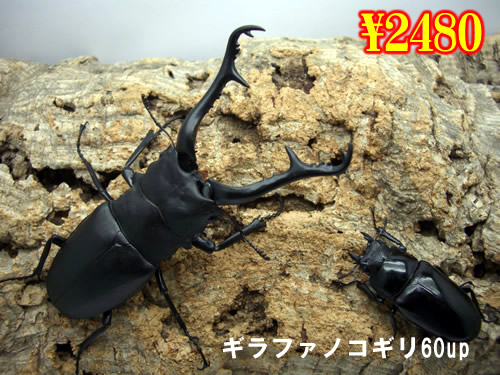 3月選抜品■ギラファノコギリクワガタ60up成虫ペア(1ペアまで