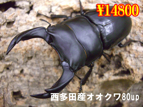 8月選抜品■西多田産オオクワ80up成虫ペア(1ペアまで