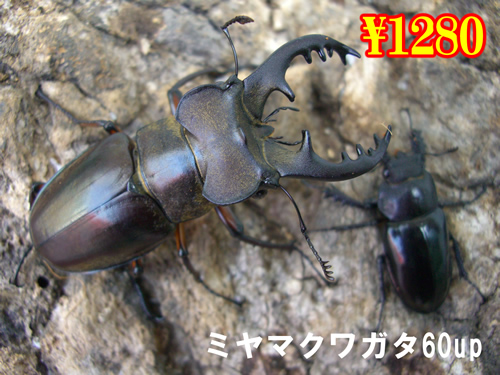 特選虫の市■ミヤマクワガタ60up成虫ペア(1ペアまで
