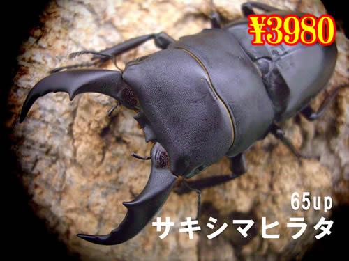 特選虫の市■離島 サキシマヒラタ65up成虫ペア(1ペアまで