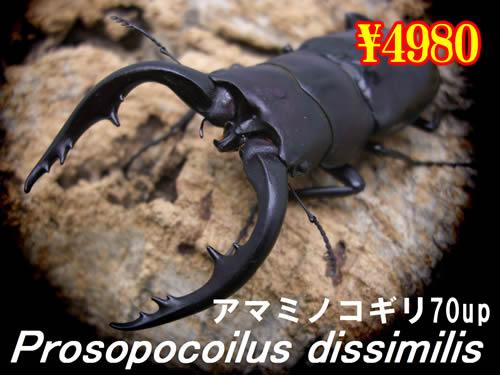 9月選抜品■離島 アマミノコギリ70up成虫ペア(1ペアまで