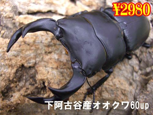 特選虫の市■下阿古谷産オオクワ60up成虫ペア(1ペアまで