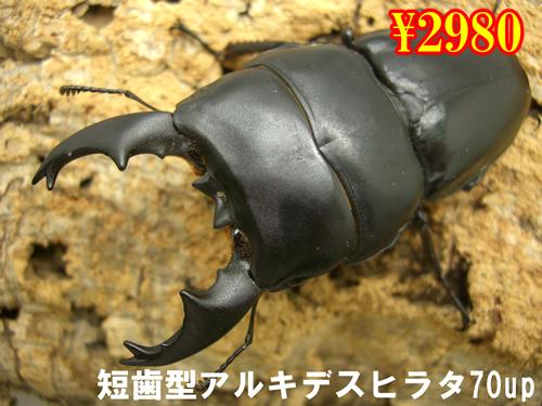 特選虫の市■短歯型アルキデスヒラタ70up成虫ペア(1ペアまで