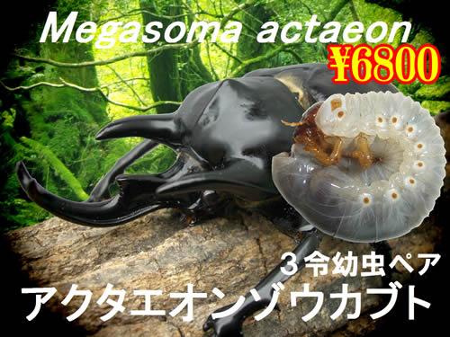 10月選抜品■アクタエオンゾウカブト3令幼虫ペア(1ペアまで