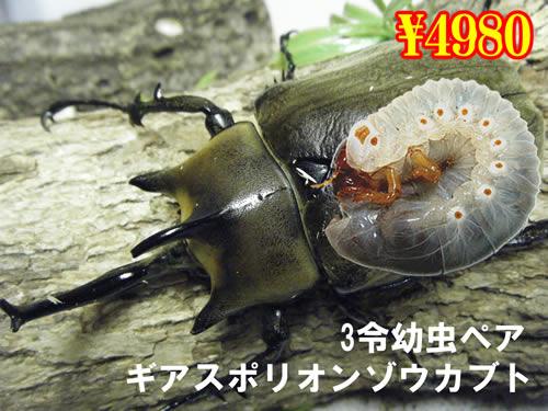 特選虫の市■ギアスポリオンゾウカブ3令幼虫ペア(1ペアまで