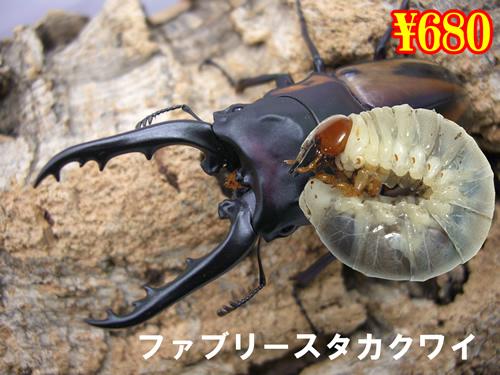 特選虫の市■ファブリースタカクワイ幼虫(3頭まで
