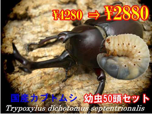 特選虫の市■国産カブトムシ幼虫50頭セット(1セットまで