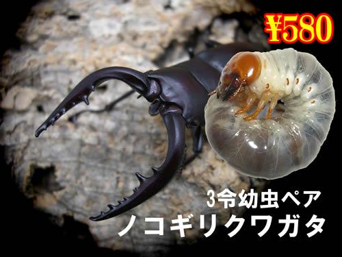 3月選抜品■国産ノコギリクワガ幼虫ペア(1ペアまで