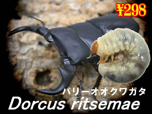 2月選抜品■リセツマ(パリー)オオクワガタ幼虫(3頭まで