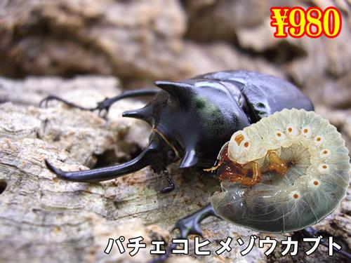 2月選抜品■パチェコヒメゾウカブト幼虫(3頭まで