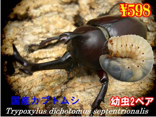 11月選抜品■国産カブトムシ幼虫2ペア(3セットまで