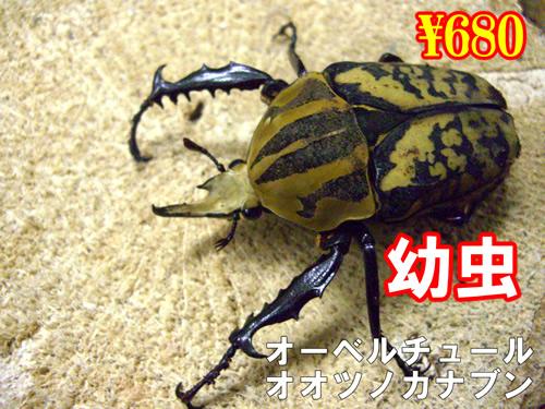 特選虫の市■オーベルチュールオオツノカナブン幼虫(3頭まで